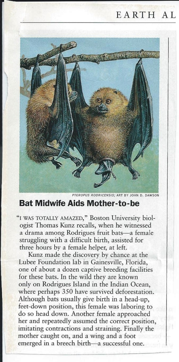 Journal article with headline 'Bat Midwife Aids Mother-to-be'
